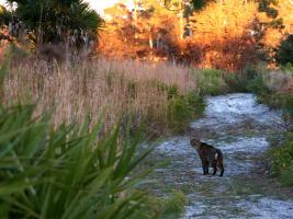 Bobcat on the Red Trail